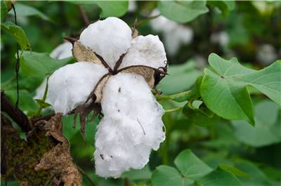 History of Cotton Making Cotton into Fabric